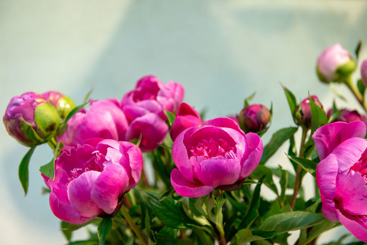 Flower Flowering Plant Beauty In Nature Plant Vulnerability  Fragility Freshness Pink Color Petal Close-up Growth Inflorescence Flower Head Nature No People Focus On Foreground Day Leaf Outdoors Plant Part Peony