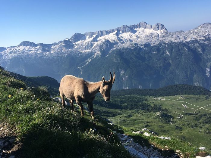 View of a ibex on field against mountain range