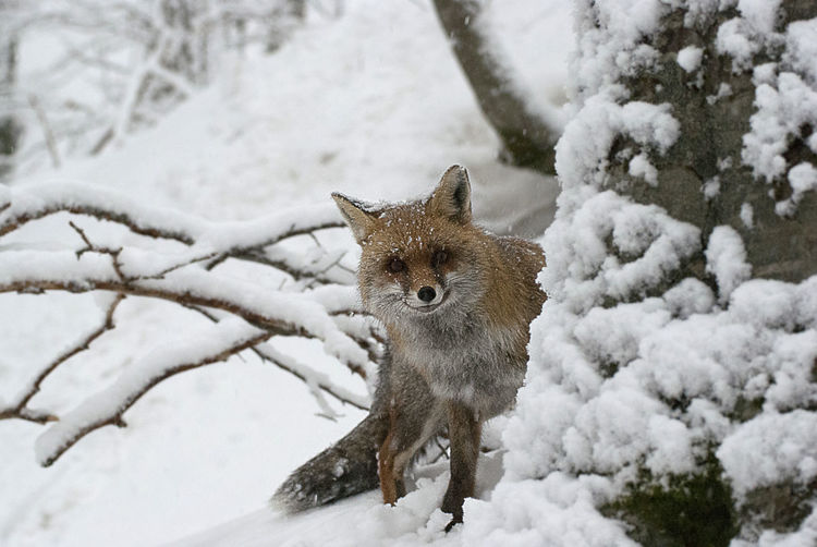 High angle view of fox standing on snow field during winter