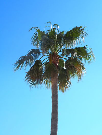 Palm Tree Tropical Climate Sky Tree Plant Low Angle View Tree Trunk Trunk Clear Sky Blue Tall - High Growth Nature No People Day Palm Leaf Beauty In Nature Leaf Outdoors Coconut Palm Tree Tropical Tree Turquoise Colored