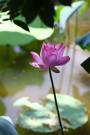 Lotus Pink Pink Flower Flowers Stree Photography Taking Photos Eye4photography