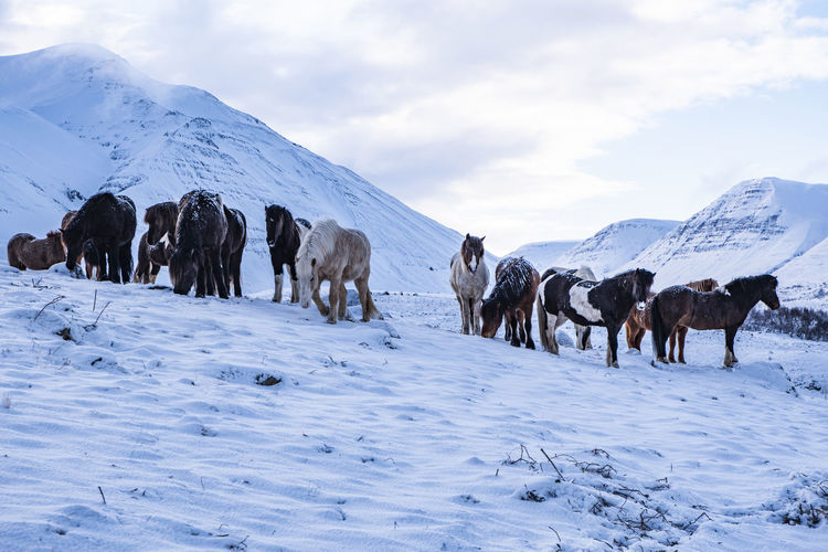 Foals standing on snow covered land against sky
