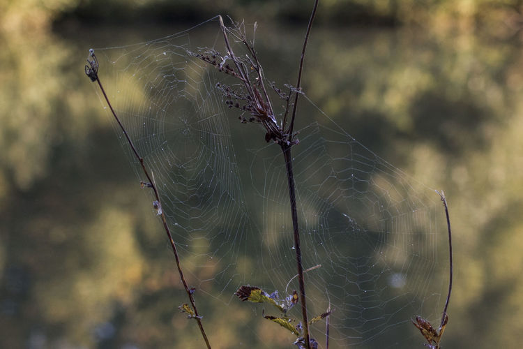 Close-Up Of Two Spider Webs On Dried Plants