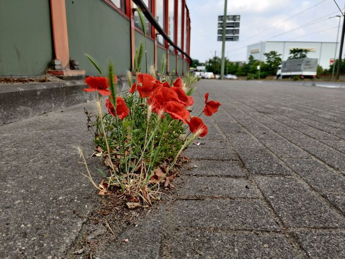 Red flower on footpath in city