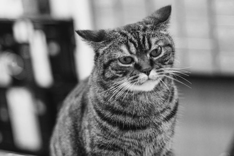 Close-up portrait of tabby cat looking away
