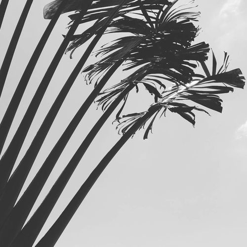#blackandwhite #minimalism #minimal #monochrome #minimalist #minimalistic Beauty In Nature Branch Clear Sky Close-up Day Growth Low Angle View Nature No People Outdoors Palm Tree Sky Tree