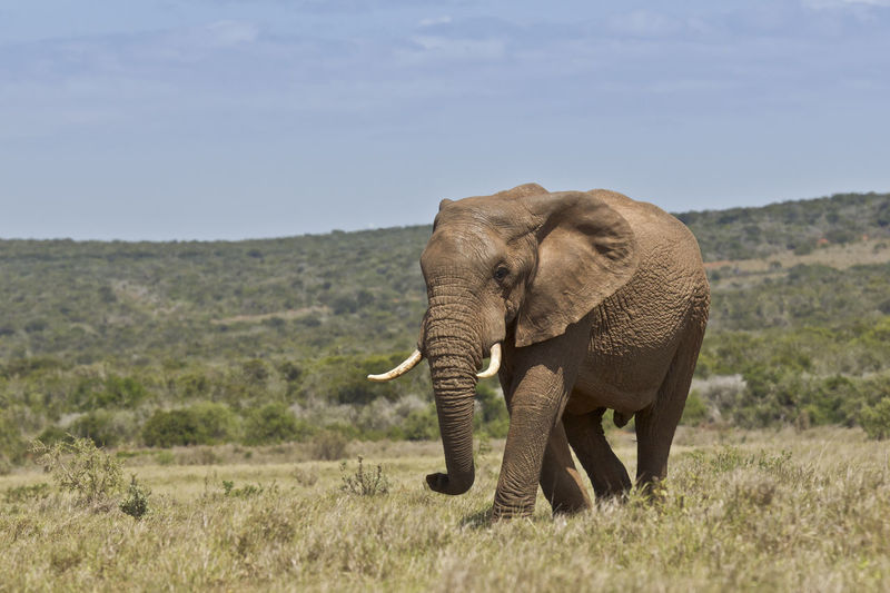 African elephant walking slowly through short savanna grassland on a hot sunny day African Elephant Animal Animal Themes Animal Wildlife Animals In The Wild Day Elephant Grass Landscape Mammal Nature No People One Animal Outdoors Safari Animals Tusk