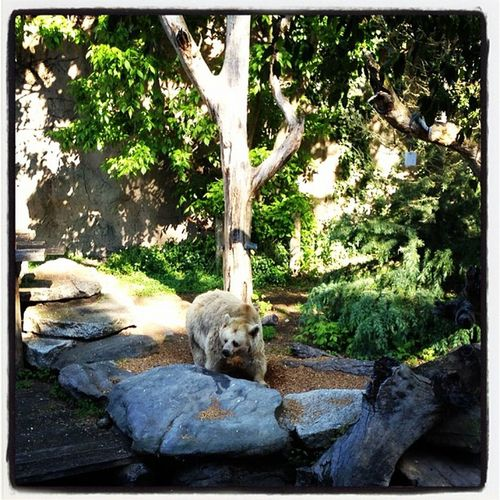 #brown_bear at the #melbourne #zoo love him! Zoo Brown_bear