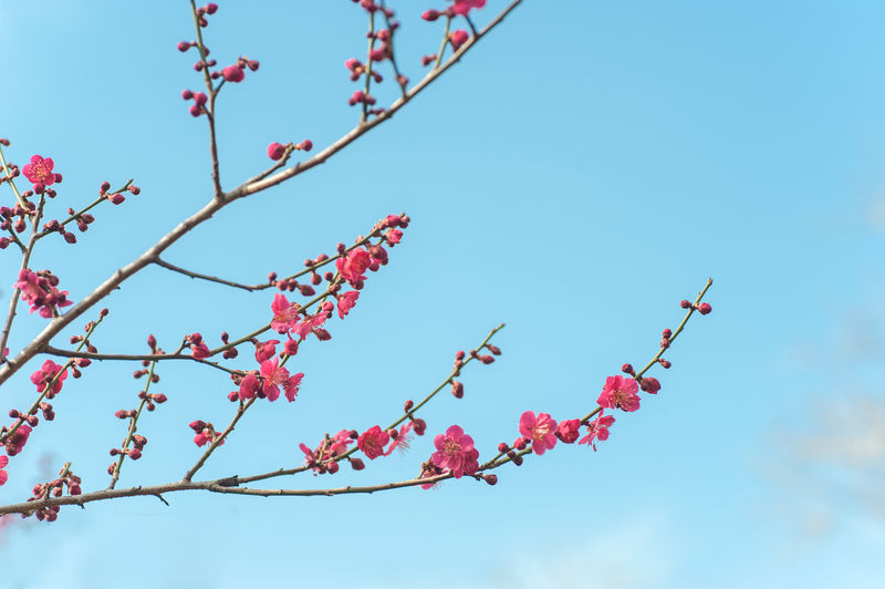 Pink blooming branches of Prunus mume 'Beni-chidori' Tree against blue sky. Selective focus. Copy space. Concept: joyful spring, spring gardening. Prunus Mume Beni-chidori Blue Sky Pink Blooming Tree Low Angle View Sky Plant Branch Growth Beauty In Nature Tree Flower Flowering Plant Nature Freshness No People Day Blue Red Outdoors Blossom Fragility Clear Sky Pink Color Springtime Plum Blossom Cherry Blossom Rowanberry Cherry Tree Spring