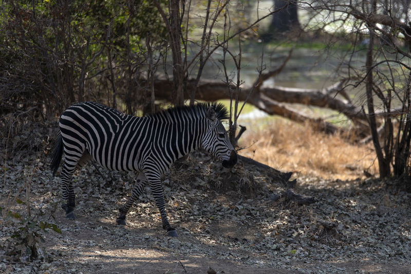 Side view of a zebra in the forest