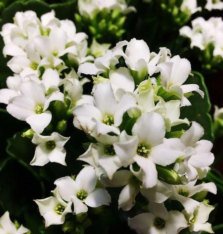 A white Kalanchoe for Chritmas... Winter 2015 House Plants Succulents White Flowers Kalanchoe Christmas Plant