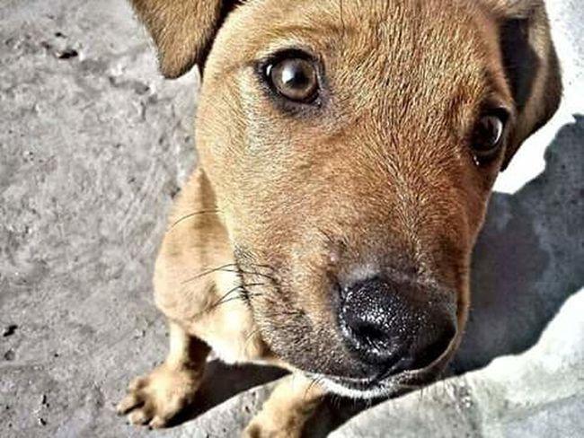 Littledog Puppy Dog Browndog Brown Eyes