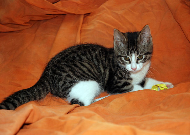 Tabby and white kitten with yellow spring toy on orange backdrop Animal Animal Head  Animal Themes At Home Cat Cats Domestic Animals Domestic Cat Family Portrait Feline Indoors  Mammal One Animal Orange Color Pampered Pets Pets Playing Rescued Kitten Resting Selective Focus Snout Vertebrate Whisker White Zoology