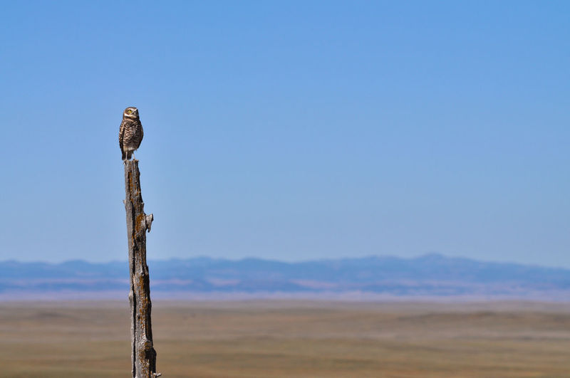 Animal Wildlife Animals In The Wild Animal Bird Animal Themes Sky One Animal Post Wood - Material Perching Bird Of Prey Wooden Post Clear Sky Outdoors Arid Climate Land Nature Blue No People Owl Burrowing Owl Black Hills Plains Raptor Mountains