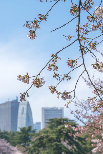 Sakura Spring Cherry Blossom at Shinjuku Gyoen, Tokyo, Japan Architecture Beauty In Nature Branch Building Exterior Built Structure City Day Flower Foreground Fragility Freshness Growth Low Angle View Nature No People Outdoors Sky Tree