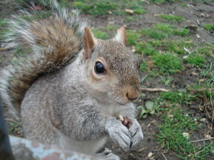 Animal Animal Themes London One Animal Squirrel Squirrel St James Park London  St. James Park Wildlife Zoology