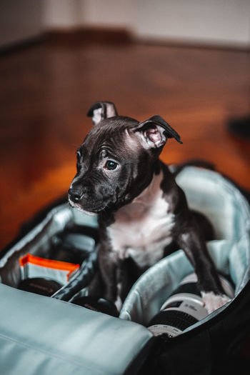 Portrait of black dog sitting at home