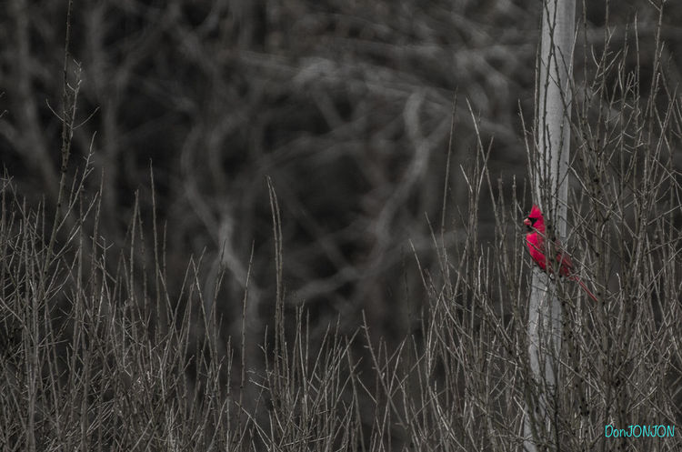 Red. Alone Audubonsociety Birds Branches Cardenal Day Freedom Gray Day Lonliness Nature No People Outdoors Red Bird Vintage