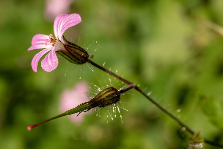 Pink Animal Beauty In Nature Close-up Flower Flower Head Focus On Foreground Fragility Growth Macro No People Outdoors Plant Vulnerability