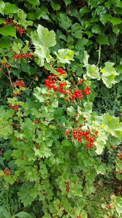 Red Currant Green And Red Garden Red Berries Berries