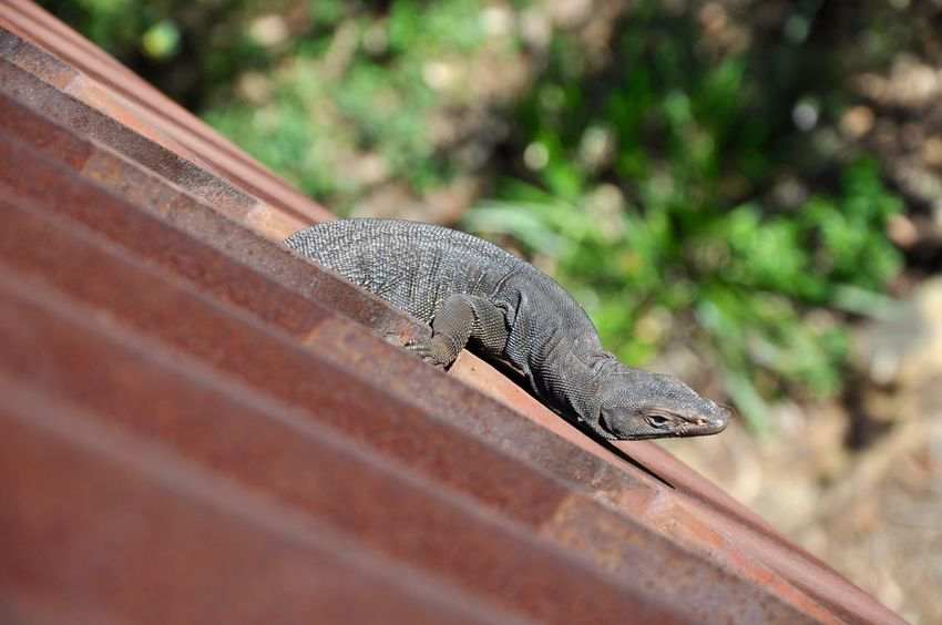 Australian reptile hanging on the exterior of bridge in King's Park in Perth, Western Australia. Animal Animal Themes Australia Australian Bridge Diagonal Grey Hanging HEAD King's Park Lizard Metal Nature One Animal Outdoors Overhead View Perth Precarious Reptile Risky Scales Western Australia Wild Wildlife Wildlife & Nature