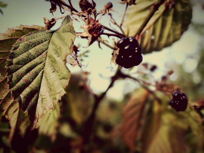 Last Blackberries of the year Focus On Foreground Close-up Nature Beauty In Nature Outdoors Green Selective Focus Ireland🍀 Blackberries Autumn🍁🍁🍁 EyeEm Best Shots EyeEm Nature Lover PhonePhotography Phonecamera