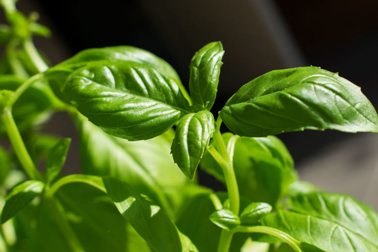 Basil Basillicum Beauty In Nature Close-up Day Fragility Freshness Green Color Growth Leaf Nature No People Outdoors Plant
