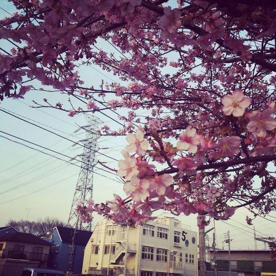 桜 開花 春