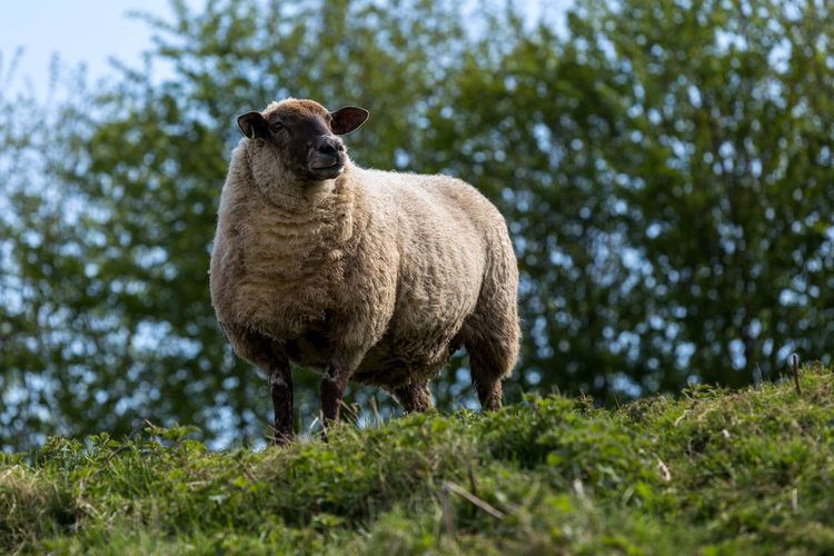 Sheep on the hill... Agriculture Animal Animal Themes Animal Wildlife Animals Animals In The Wild Bank Cleobury Mortimer Countryside Day Grass Grass Livestock Mammal Nature No People One Animal Outdoors Sheep Shropshire Single Sheep Standing Tree Wool
