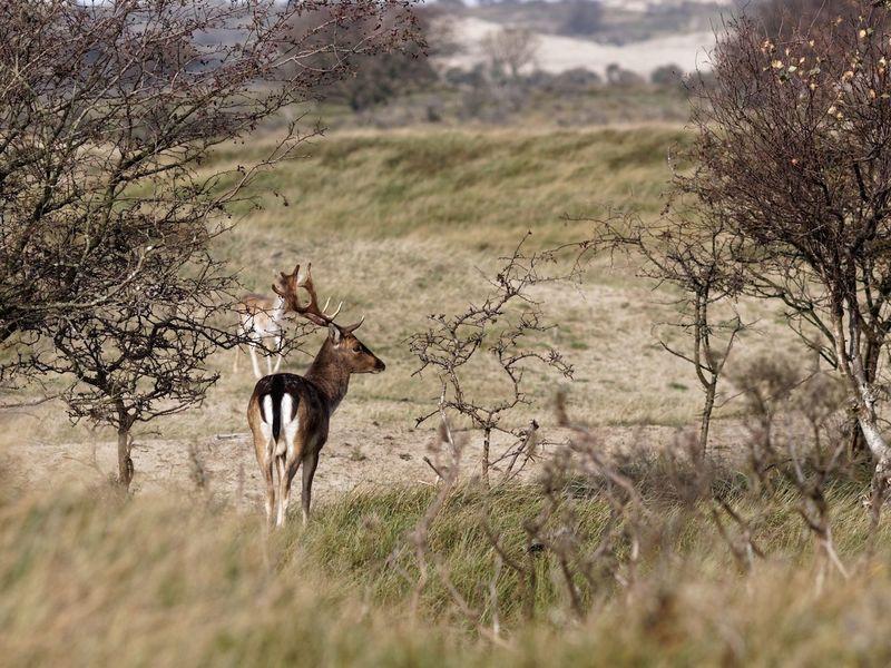 Dunes Of Holland Fallow Deer Buck Animal Animal Themes Mammal Plant Grass