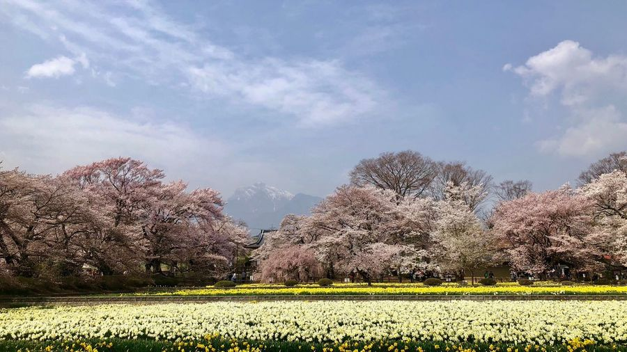 Scenic view of yellow flowering trees on field against sky