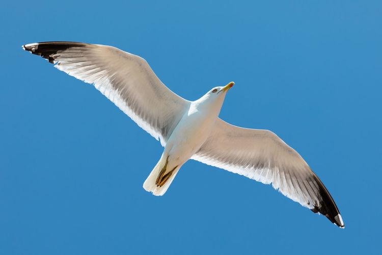 Animal Animals Animallovers Flying Sea Life UnderSea Blue Sea Sky Seagull Spread Wings Flapping Flight Bird Animal Wing Sea Bird