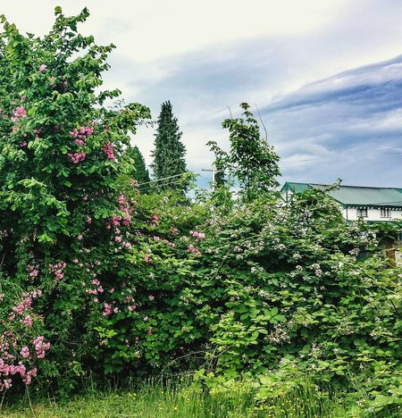 Arlington, Wa Taking Photos Green Nature Cloudy Skies Nature_collection Tree Art Nature's Diversities Pink And Green Landscape #Nature #photography Roses_collection Pink Flowers Flowers,Plants & Garden Outdoor Photography June 2016 Colors Of Nature Showcase June Eyeem Photography Eyeem Photo Color Eyeem Best Shots Eyeem Gallery Fine Art Photography Interesting Perspectives Photos Around You Patterns In Nature Pattern, Texture, Shape And Form Backyard Photography My Backyard