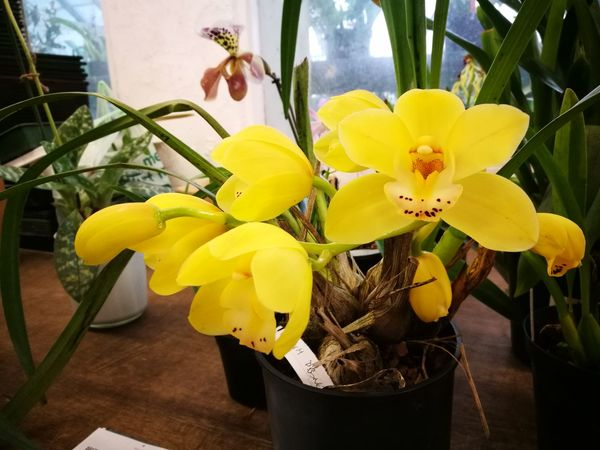 Orchidflower Orchidee Orchid Flower Yellow Flower Yellow Orchid Flower Yellow Petal Freshness Fragility Growth Plant Close-up Beauty In Nature Flower Head Orchid