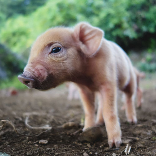 Close-Up Portrait Of Piglet On Field