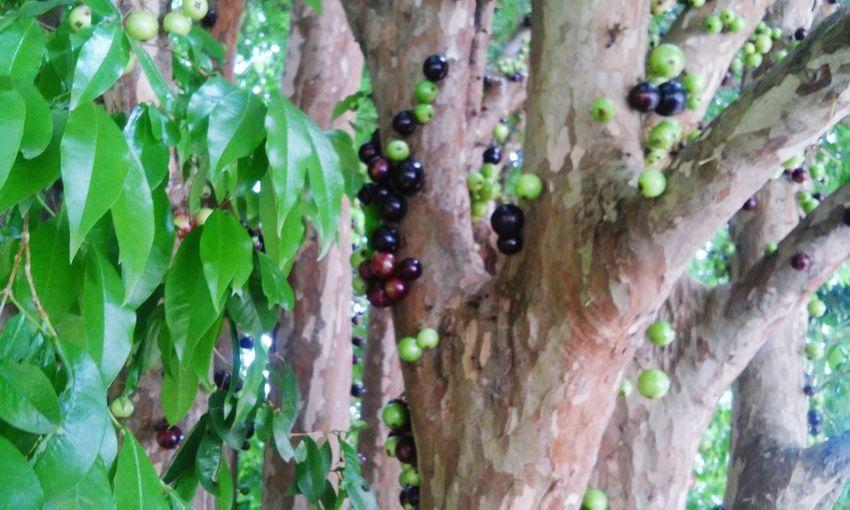 Jabuticaba frui