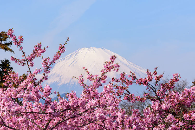 Beauty In Nature Plant Sky Tree Flower Pink Color Flowering Plant Mountain Low Angle View Nature Blossom Growth No People Cherry Blossom Springtime Scenics - Nature Branch Freshness Fragility Outdoors Cherry Tree Snowcapped Mountain Mountain Peak Kawazu-zakura Mt.Fuji
