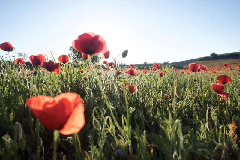 Red Poppies Blooming On Field Against Clear Sky
