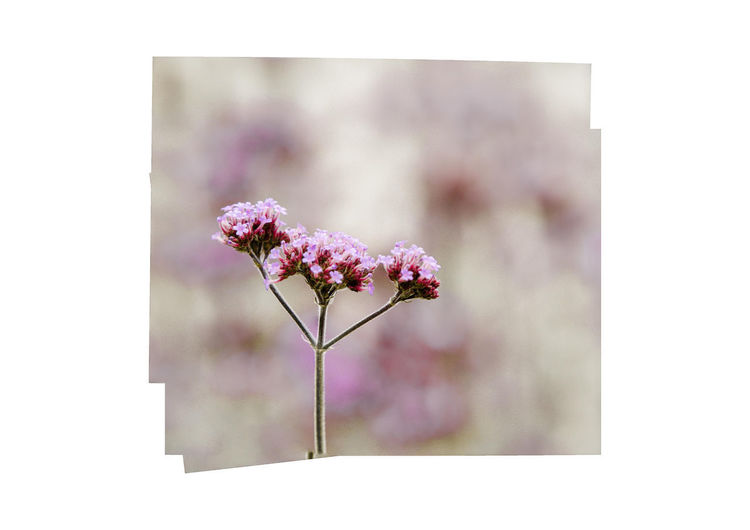 flower Flower Flowering Plant Plant Freshness Fragility Vulnerability  Beauty In Nature Pink Color Auto Post Production Filter No People Close-up Transfer Print Nature Focus On Foreground Growth Day Outdoors Petal Inflorescence Flower Head Cherry Blossom