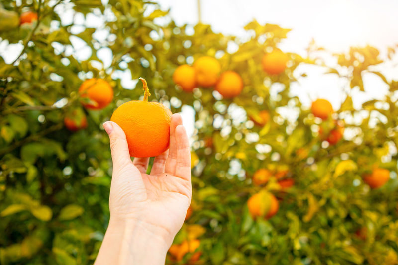 Italy Sicily Fruit Healthy Eating Food Food And Drink Orange Color Human Hand Hand Citrus Fruit Human Body Part Plant Wellbeing Holding Orange Tree Tree Orange Freshness Orange - Fruit Fruit Tree Nature One Person Organic Outdoors Ripe Finger