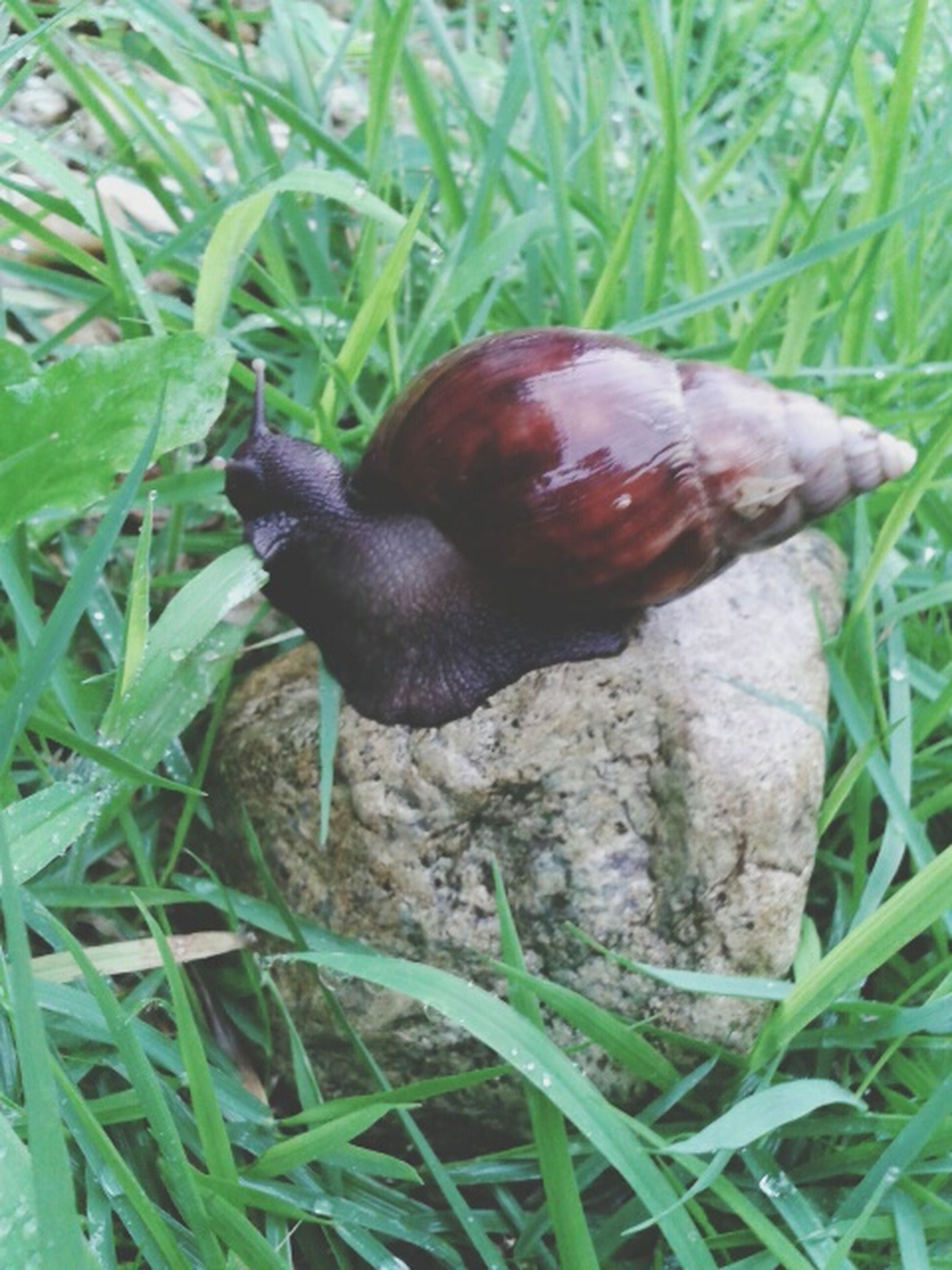 animal themes, animals in the wild, one animal, wildlife, bird, grass, green color, nature, field, close-up, snail, perching, full length, outdoors, high angle view, day, grassy, plant, no people, growth