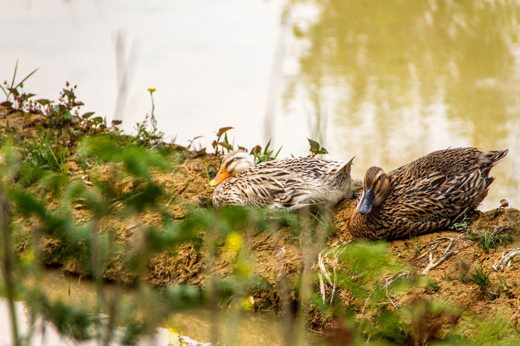 Animal Themes Animal Wildlife Bird Gosling Nature No People Outdoors Water Rural Scenes Rural_living Rural Life IMography Mammal Livestock Domestic Animals My Point Of View Nature Photography Focus On Foreground Landscape Nature Landscape_Collection Art Is Everywhere TCPM Inner Power