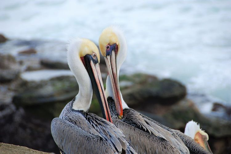 Seeing Eye to Eye Animals In Nature Animals In The Wild Beach Birds Close Up Close-up Daytime Fresh On Eyeem  La Jolla California No People Pelicans Sky Water