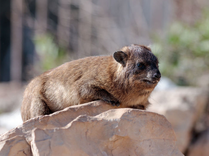 Rodent relaxing on rock