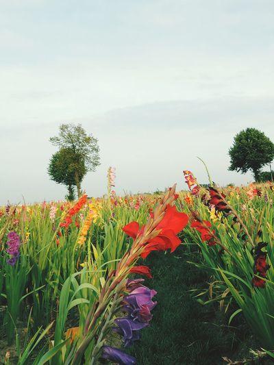 Trees Bluesky Summer Flowers Colorful Gladiolus Flowerfield Happy Beautiful Beautifulnature