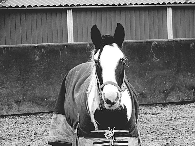 Merry-lou💗 Merry-lou Horse Pferd Pferde Paard Staljasper Manège  Paddock Blackandwhite Black & White Black And White Zwartwit Zwart Wit Zwart-Wit