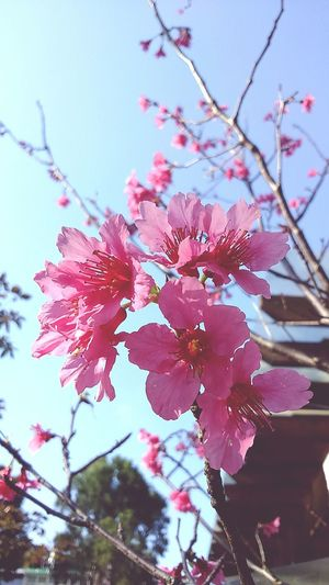 Millennial Pink Blossom Pink Cherry Blossoms Cherry Blossoms Growth Flower Red Nature Close-up Growth Plant Pink Color Tree Freshness Beauty In Nature Springtime Almond Tree Outdoors No People Day Flower Head Sky Clear Sky Fragility Nature