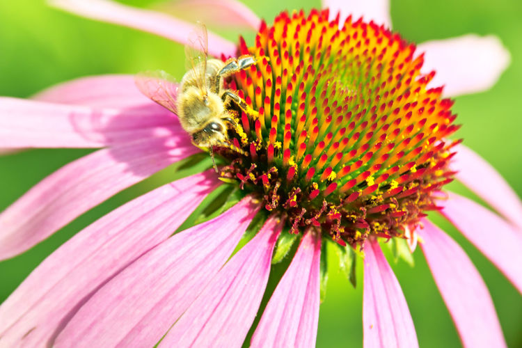 Botany Botanical Species Protection Protection Schutz EyeEm Nature Lover EyeEm Outdoors EyeEmNewHere Sonnenhut Animal Animal Wildlife Beauty In Nature Bee Biene Close-up Echinacea Flower Inflorescence Insect Invertebrate Outdoors Plant Pollen Pollination