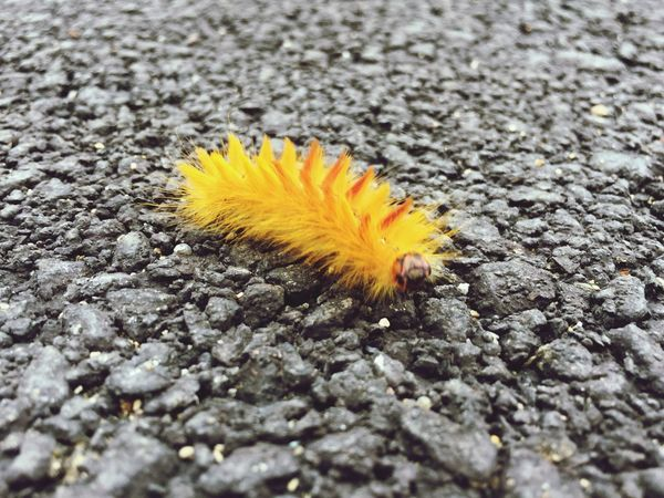 La Noctuelle de l'érable, Acronicta aceris Acronicta Aceris Chenille Yellow Bug Caterpillar Jaune Asphalt Bitume Insect