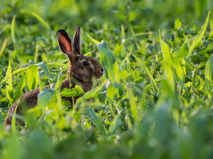 Hare amidst plants on field